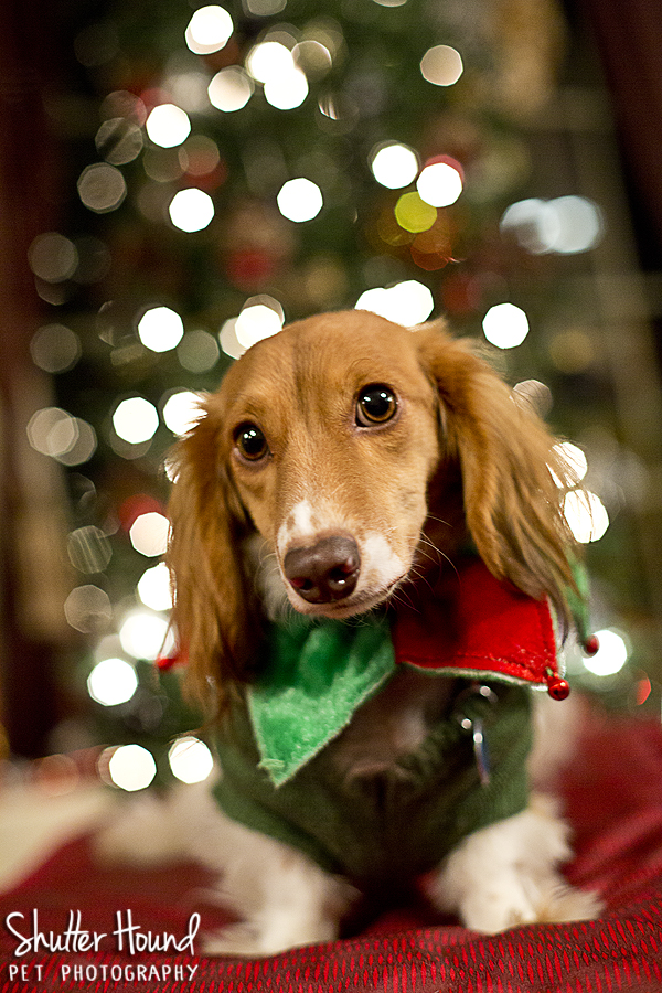 Christmas Eve Pet Session Shutter Hound Pet Photography