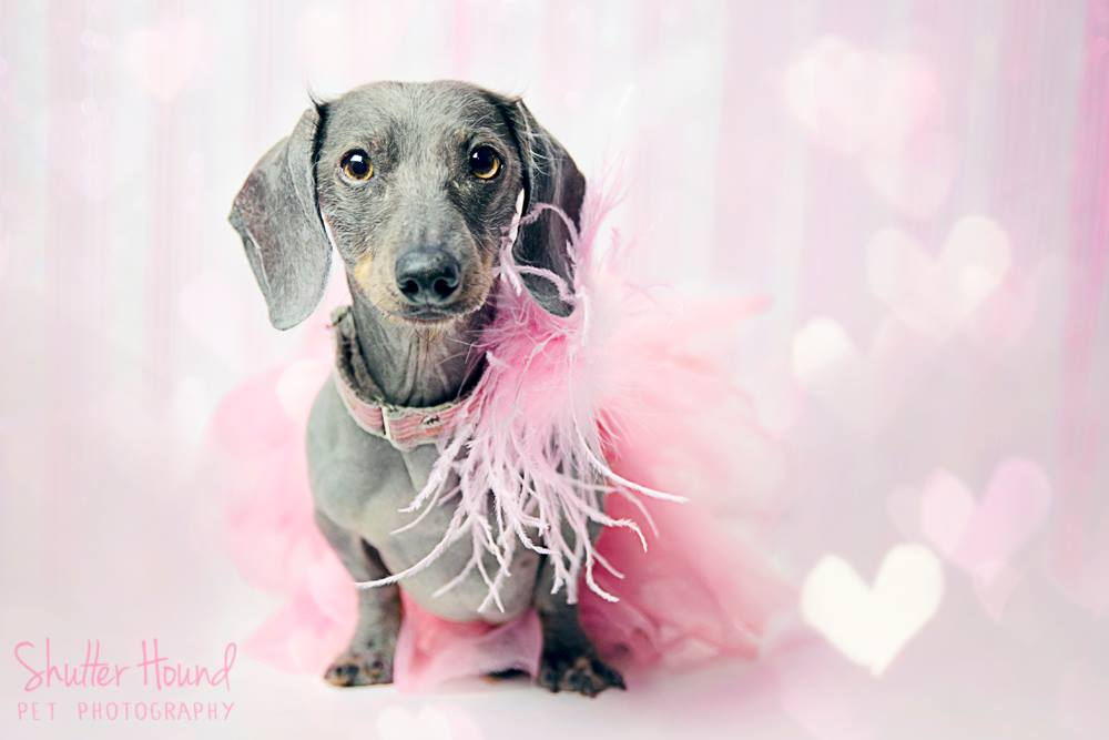 Studio Dachshund Pet Photography - Pink - Valentine's Day - Shutter Hound Pet Photography - shutterhoundphotos.com