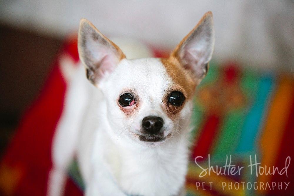 Paul the Chihuahua